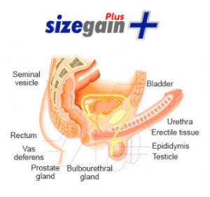 SizeGain-Plus-Pills-Ingredients-Review-Does-These-Pills-Really-Work-to-Enlarge-Penis-Size-Follow-Review-Results-Reviews-Becoming-Alpha-Male